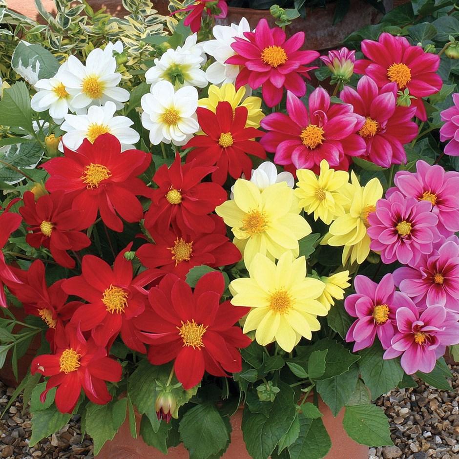 цветы веселые ребята фото на клумбе этот сорт