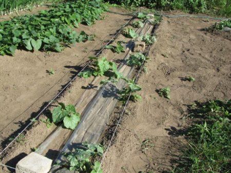 Дыня «Карамель»: описание сорта, отзывы, способы выращивания