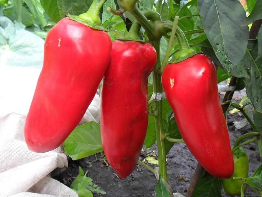 Перец Воловье ухо характеристика и описание сорта урожайность с фото