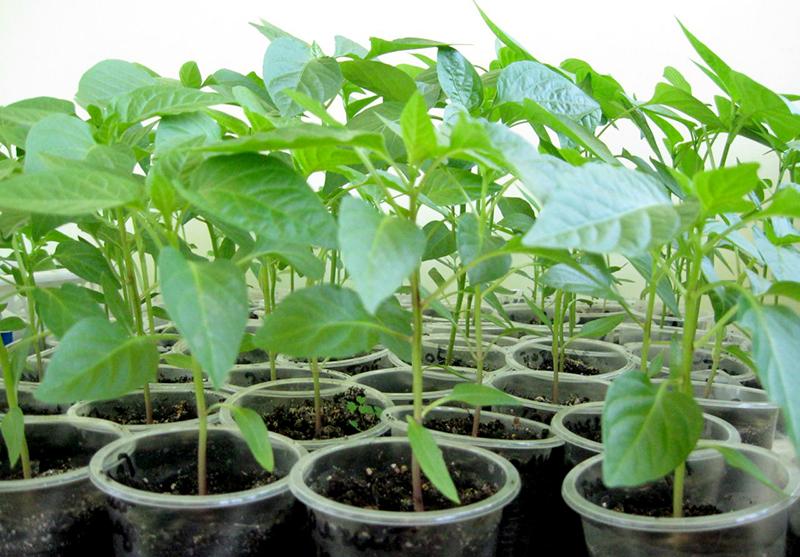 Уход за рассадой перца в апреле по лунному календарю