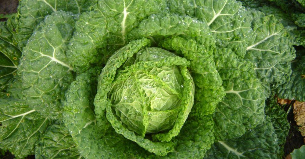 Особенности выращивания савойской капусты