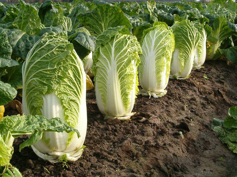 Когда сеять пекинскую капусту на рассаду, а также как сажать семена правильно для выращивания крепких саженцев?