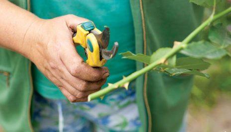 Секреты как вырастить розу из букета