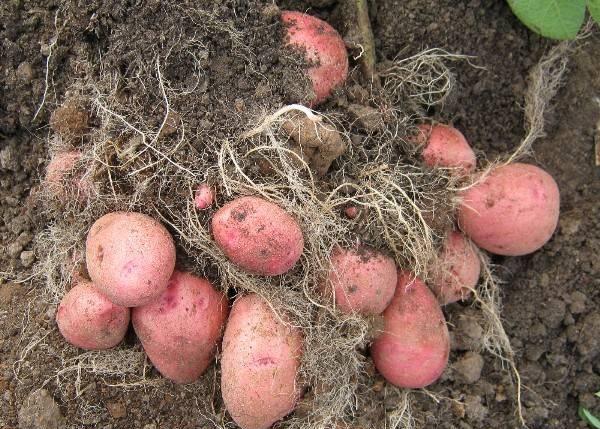 картофель красавчик описание сорта фото отзывы говорят забей