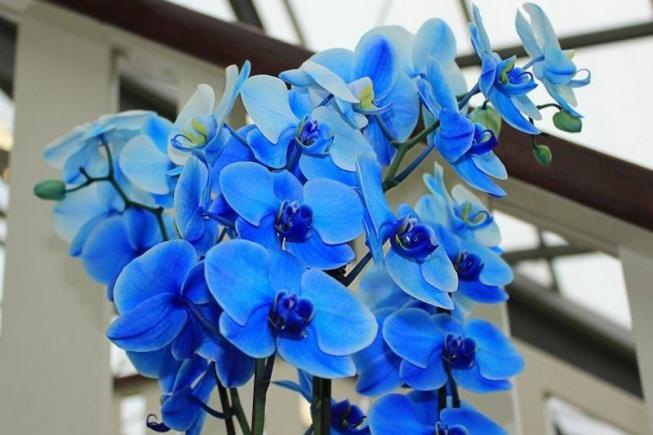 Бывают ли синие орхидеи