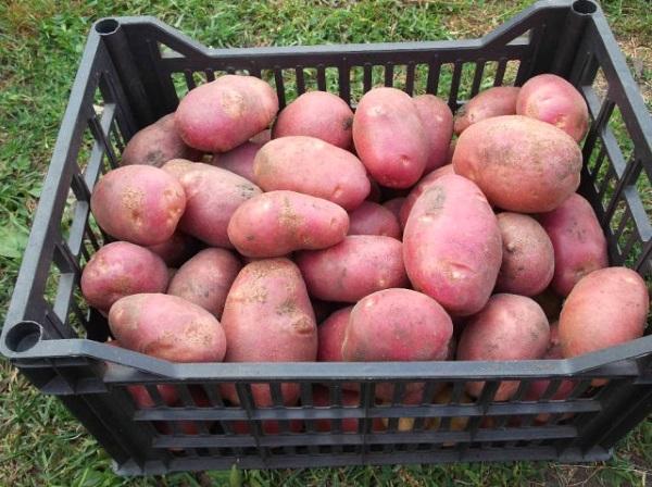 Картофель рябинушка характеристика и описание сорта урожайность с фото