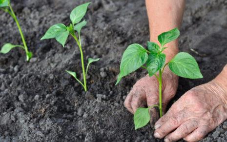 Выращивание горького перца. Как вырастить горький перец. Особенности выращивание горького перца, как посадить рассаду, сбор урожая