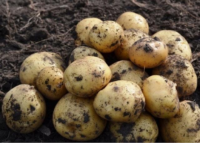 скороспелая картошка сорта