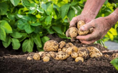 Формирование клубней картофеля. Картофель, сроки вегетации и повышение урожайности