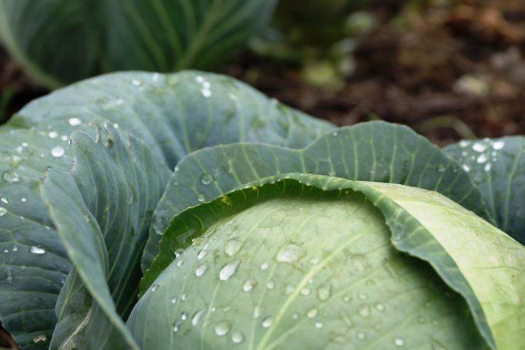 чем обработать капусту от вредителей уксусом
