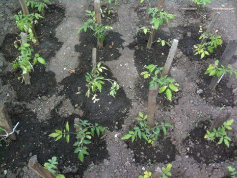Томат Богата хата F1: характеристика и описание сорта марки Аэлита, отзывы об урожайности тех кто сажал семена, фото и видео помидоров