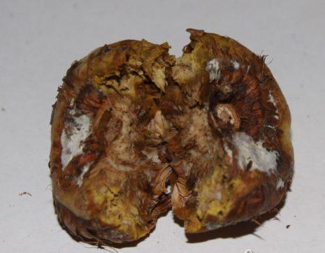 Болезни и вредители гладиолусов: чем обрабатывать и лечить