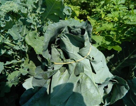 Почему не завязывается цветная капуста: что делать для завязи цветной капусты