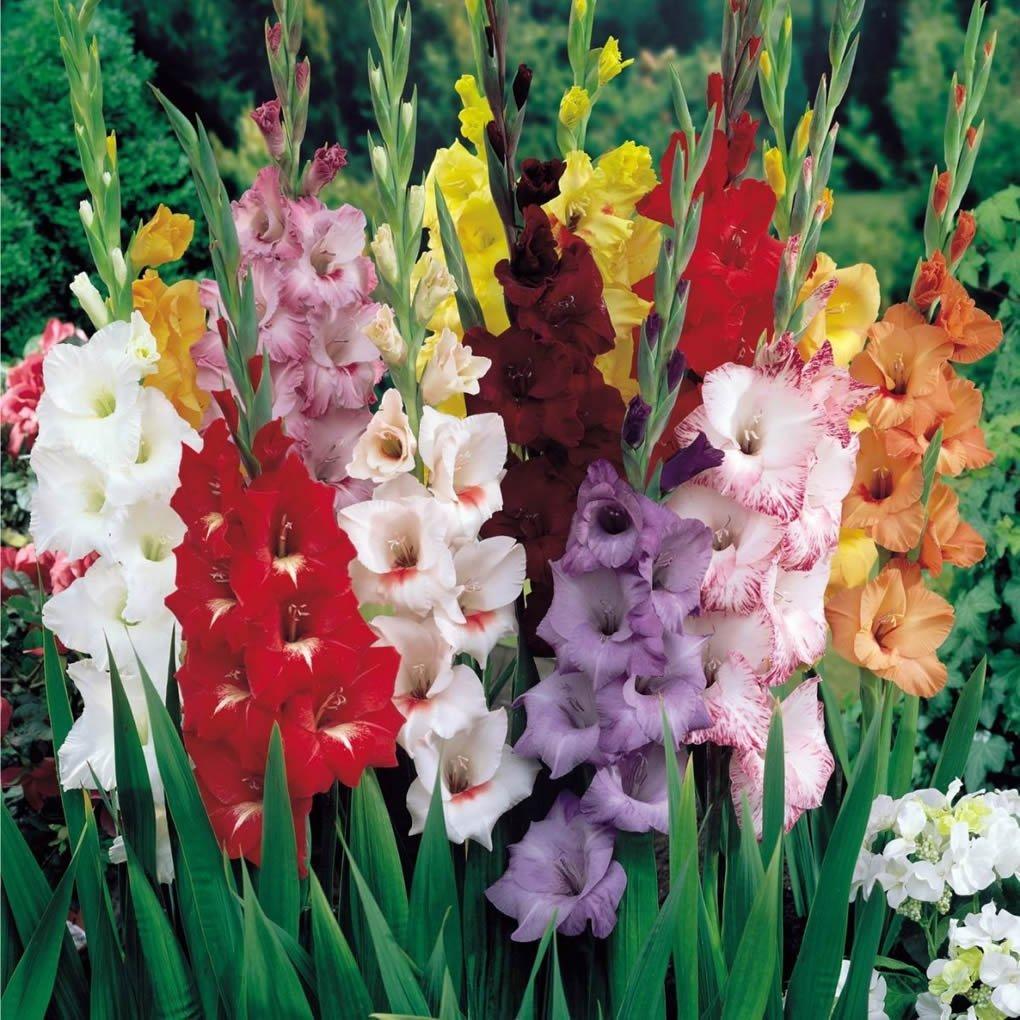 Размер цветка гладиолуса