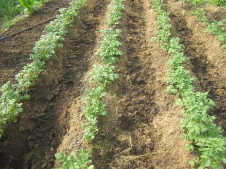 Как быстро и правильно прополоть картошку триммером мотоблоком и другими приспособлениями