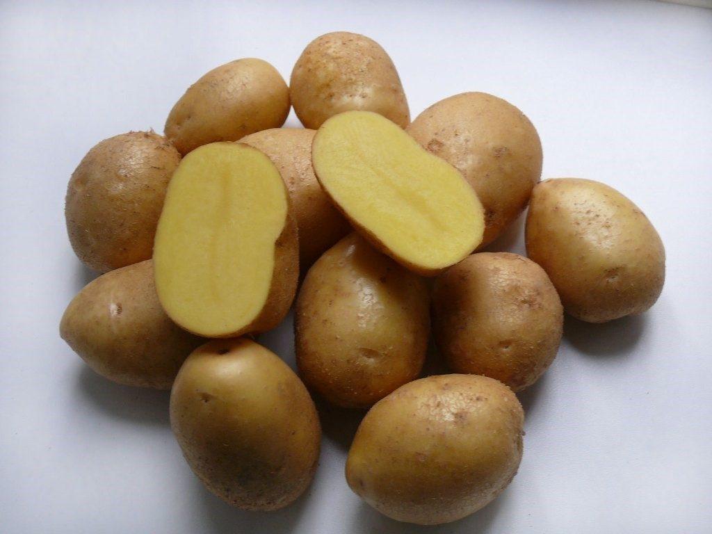 Описание и характеристика сорта картофеля Коломбо правила посадки и уход