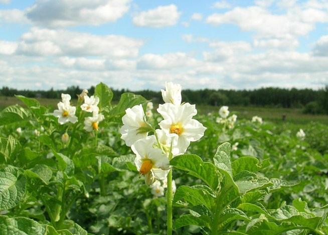 Жуки на картошке во время цветения