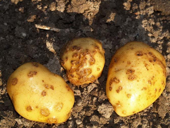 Черная парша картофеля эффективные методы борьбы