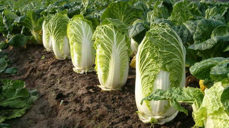 Выращивание пекинской капусты, все о пекинской капусте, секреты