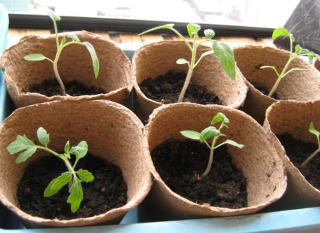 rassada-pomidor-6-465x339.png