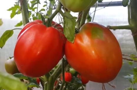 Томат Ранняя девочка: характеристика и описание сорта, отзывы и урожайность