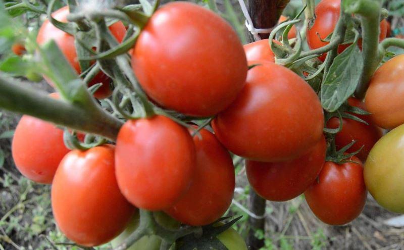 Томат Земляк характеристика и описание сорта урожайность с фото и видео