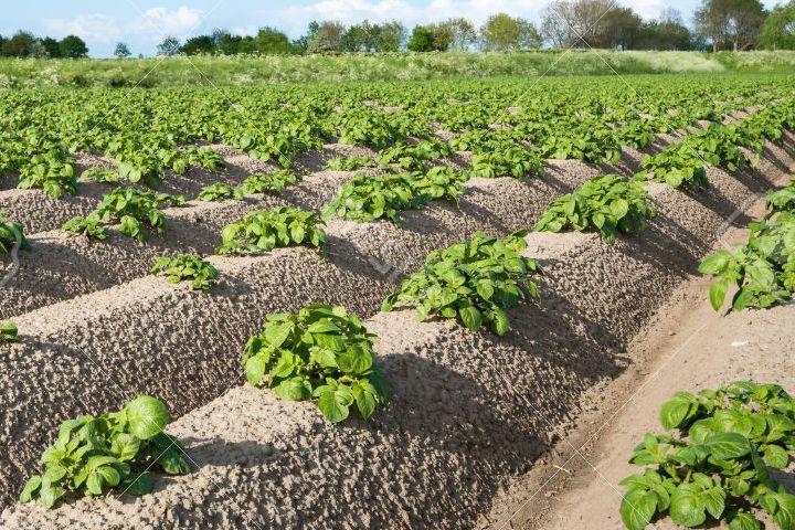 Посадка картофеля по голландской технологии видео