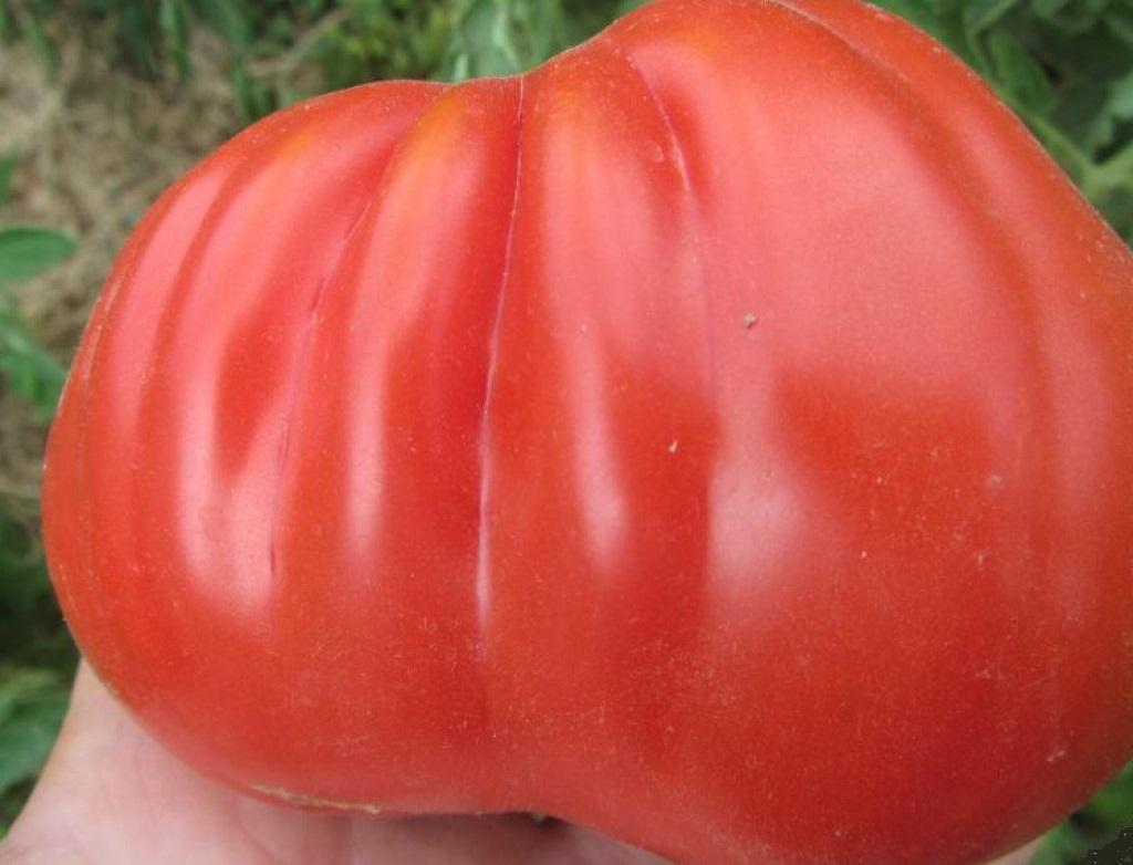 сорт помидор 100 пудов отзывы