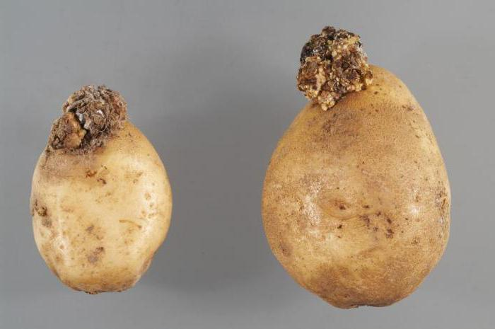 Рак картофеля: описание, опасность, признаки, распространение, методы борьбы