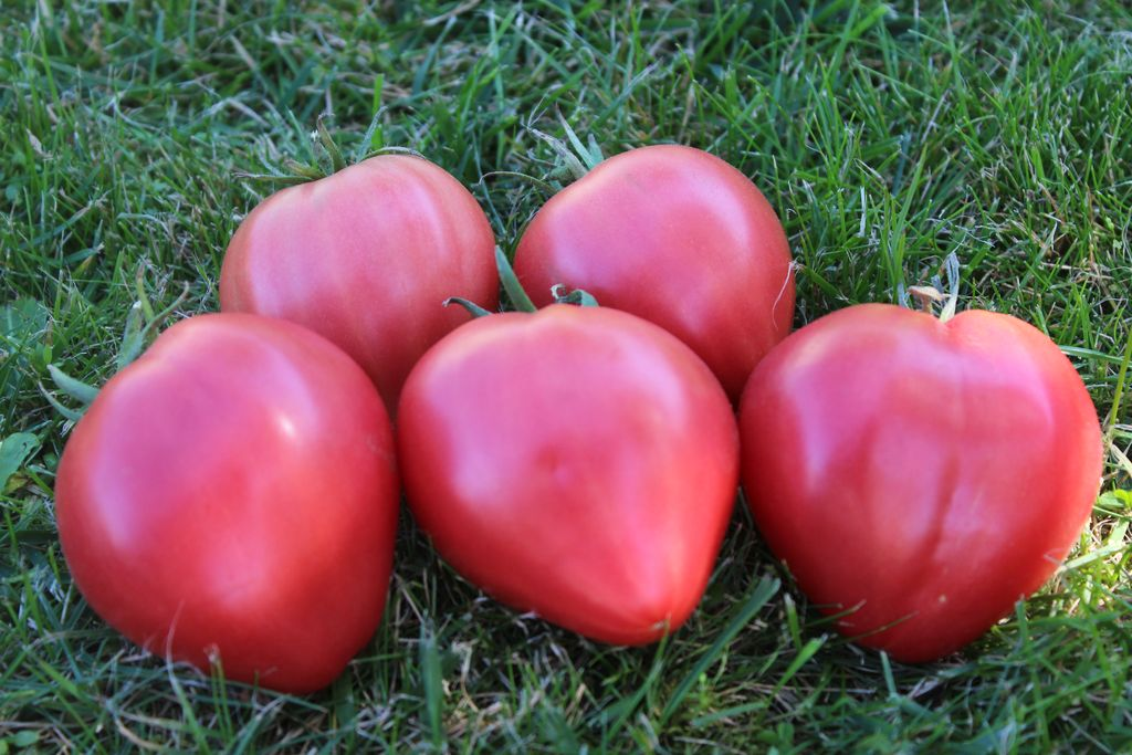 итоге помидоры бычье сердце описание сорта фото положительной