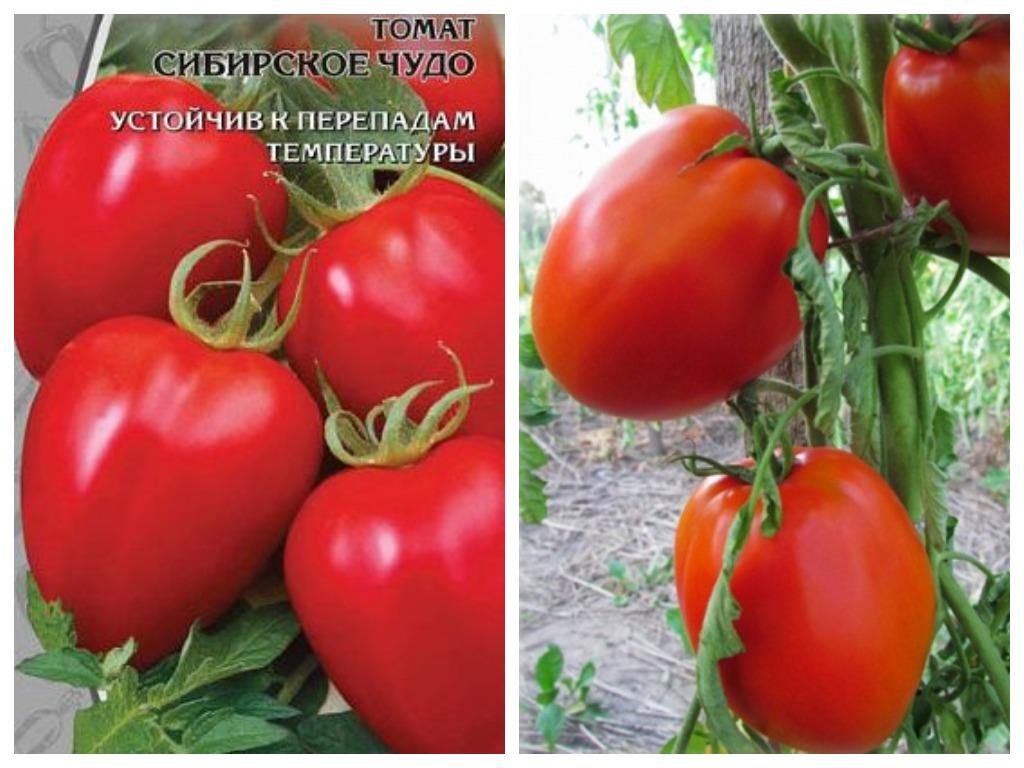 Томат Сибирское чудо характеристика и описание сорта урожайность с фото