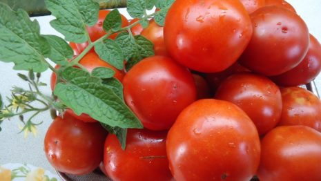 Описание и урожайность сорта томатов «Оля»: отзывы огородников