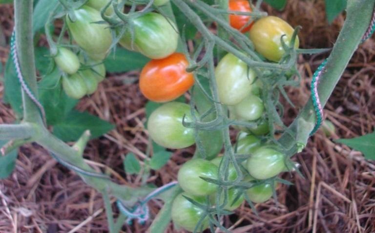 Томат Сластена: характеристика и описание сорта, урожайность с фото