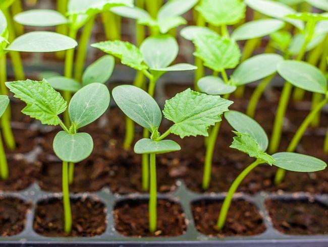 Выращивание огурцов: когда сеять рассаду для теплицы и парника 33
