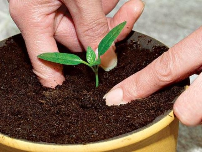 время посева семян перца на рассаду
