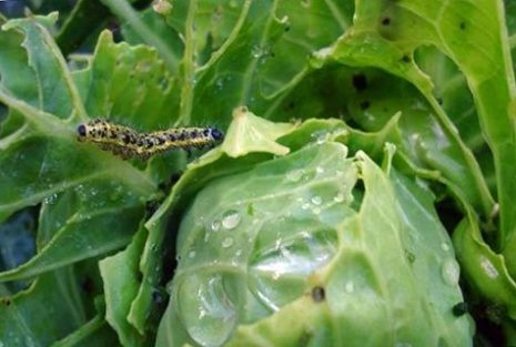 Чем обработать, опрыскать, полить капусту от гусениц народными средствами и препаратами