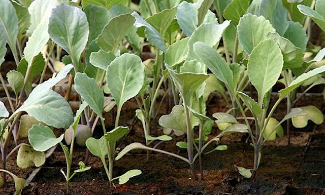 Как сажают цветную капусту на рассаду 73