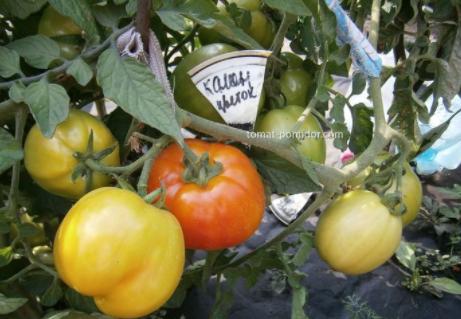 помидоры каменный цветок описание сорта фото