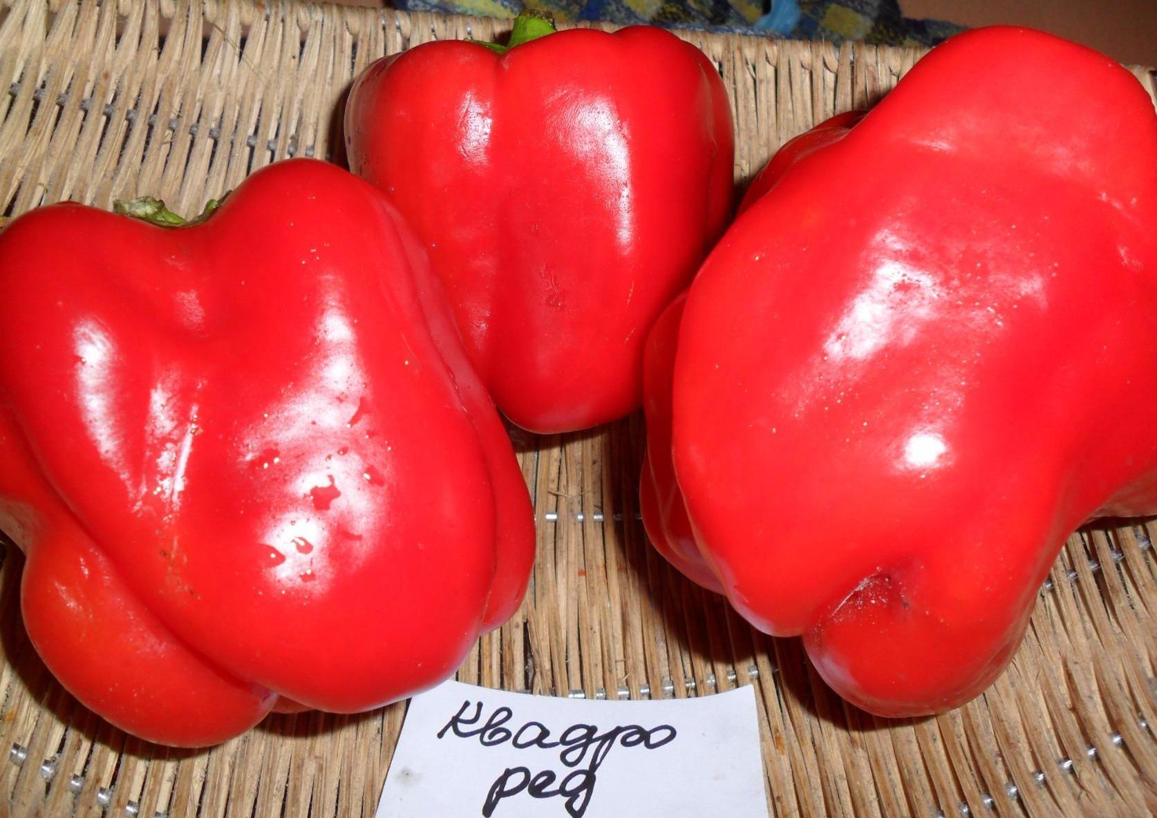 сорта крупных перцев для теплиц