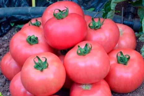 Как посадить и вырастить томат Ранняя любовь