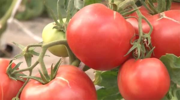 Томат Первоклашка характеристика и описание сорта урожайность с фото