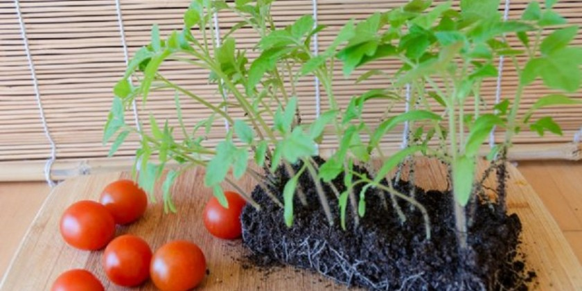 Как выращивать помидоры на рассаду пошаговое фото