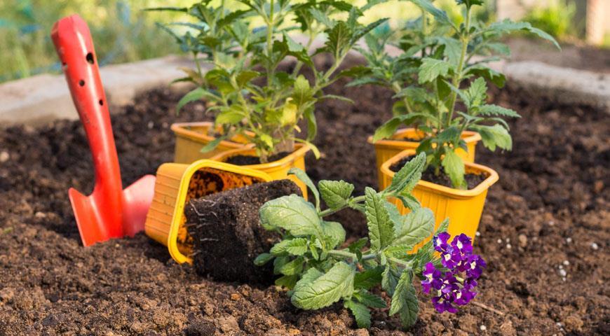 Вербена: выращивание из семян - полная инструкция