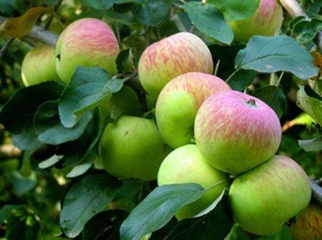 Описание и особенности яблони Боровинка