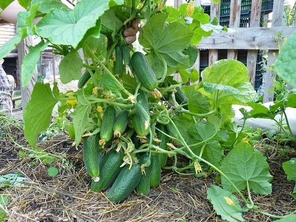 Огурцы растущие кустом