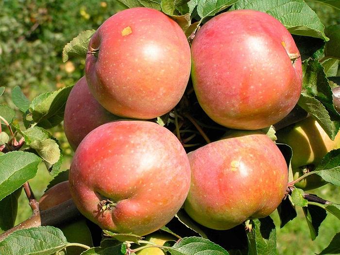 Яблоня Зимняя красавица описание сорта и характеристики плодов с фото