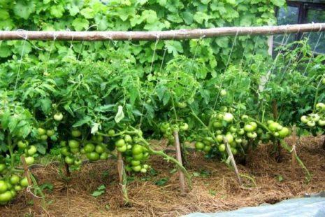 Преимущества и недостатки томата Торбей почему его стоит попробовать вырастить