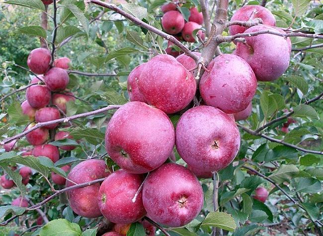 Сорт яблони Подарок Графскому 40
