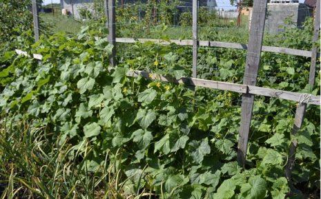Огурец Паратунка F1: отзывы, фото, описание гибрида, посадка и уход, выращивание сорта, урожайность, вкусовые качества, болезни и вредители