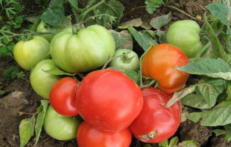 Томат Крайний север: характеристика и описание сорта, урожайность с фото